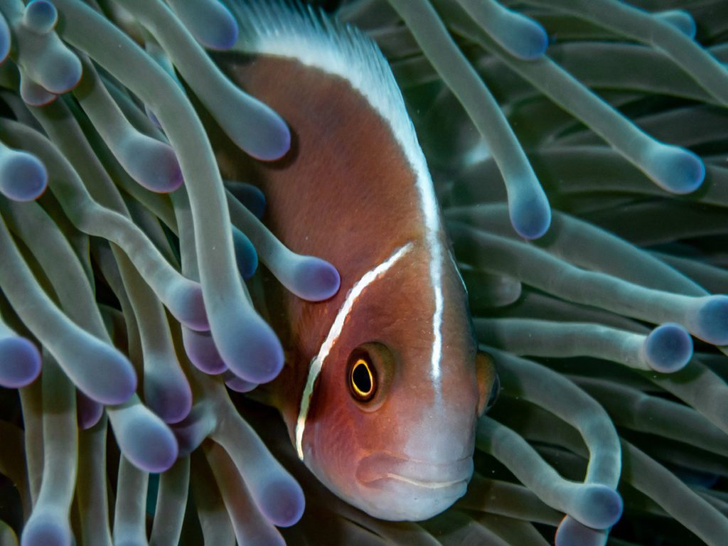 Anemone fish sighted during the discover scuba diving experience at Nava Scuba